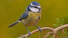BBC Nature - In pictures: Top British garden birds revealed
