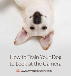How to Train Your Dog to Look at the Camera - So without further ado, let's get you some tips that are apparently used by professional pet photographers to produce photos of dogs that leave viewer amazed. mypuppystory.com #mypuppystory #dogtraining #dog #puppy #dogs #dogbreed #dogtrainingtips  http://mypuppystory.com/