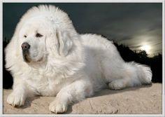 Tibetan Mastiff   Beautiful white coat! Whoa!