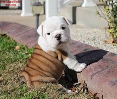 free-classifieds-ads.org - Gorgeous English Bulldog Puppies For Sale