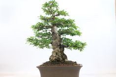 Korean Hornbeam Bonsai Tree available from All Things Bonsai, Sheffield, Yorkshire