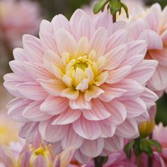 A beautiful dinnerplate Dahlia. Perfect for a cut flower garden or just a beautiful summer display. Bulb Type: Tuber Type: Dinnerplate Bloom Color: Pink with yellow center Bloom Time: weeks Dahlia How To Cut Flower Garden, Cut Flowers, Stained Glass, Vectors, Garden Ideas, Freedom, Bloom, Joy, Magic