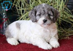 This sweet & cuddly Cockapoo puppy is super cute! She is social, friendly and has a great personality. Cockapoo Puppies For Sale, Design Development, Pennsylvania, Cute Dogs, Super Cute, Animals, Animales, Animaux, Animal