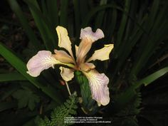 Iris (Iris foetidissima) uploaded by bonitin