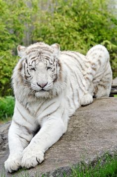 African White tiger that you can see on a Safari <3 Me has wanted one since I was a child! <3