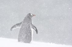 Gentoo penguin (Pygoscelis papua) in snowstorm Mikkelsen Harbor - Trinity Island - Antarctic Peninsul www.daisygilardini.com