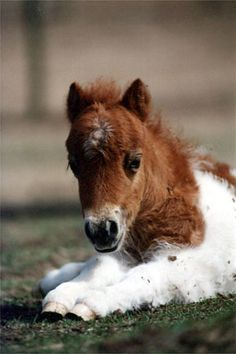 Miniature horse foal.  Sweet!