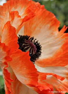 Oriental Poppy Red Orange Detail Abstract Macro black by shyphotog #fpoe