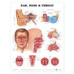 Ear Nose And Throat Anatomical Chart