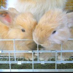 Month old baby French angora rabbits. See more at: www.fmicrofarm.com
