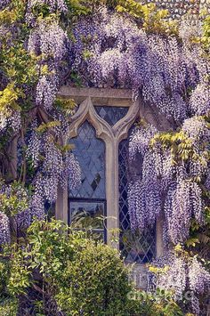 Gothic Windows covered with Pretty Wisteria Window Romantic Living. Beautiful home. Beautiful Flowers, Beautiful Places, Romantic Flowers, Pink Flowers, Wisteria Tree, Wisteria Garden, Window Art, Window Boxes, Window Seats