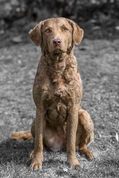 Best Chesapeake Bay Retriever Dog Names Curly Coated Retriever, Chesapeake Bay Retriever Puppy, Hunting Dog Names, Dog Rules, Retriever Dog, Dogs And Puppies, Doggies, Dog Photography, Dog Breeds