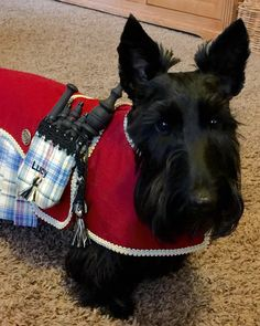 Getting my kilt ready. Pet Dogs, Dogs And Puppies, Pets, Chihuahua Dogs, Doggies, Cairn Terrier, Scottish Terriers, Terrier Dogs, Terrier Mix