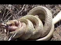 Pertarungan Sengit Dua Ekor Ular Berbisa | Video Perkelahian Binatang Buas