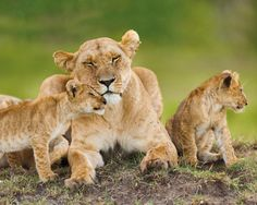 Lioness and Cubs - Official Mini Poster. Official Merchandise. FREE SHIPPING                                                                                                                                                     More