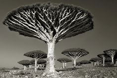Ancient Trees: Portraits of Time by photographer Beth Moon (Dragon's blood tree, Socotra) Socotra, Ernst Haeckel, Picture Tree, Tree Woman, Old Trees, Tree Photography, Photography Magazine, Belle Photo, Jungles