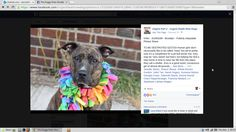 ****SUPER URGENT 6/26/16 ~ KINU – A1065289   Brooklyn Center  My name is KINU. My Animal ID # is A1065289.  I am a female br brindle and white am pit bull ter mix. The shelter thinks I am about 7 YEARS old.  I came in the shelter as a OWNER SUR on 02/17/2016 from NY 11221, owner surrender reason stated was MOVE2PRIVA