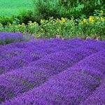 Purple Haze Lavender Farm and Store    Located at: 180 Bell Bottom Rd in Sequim, WA 98382.