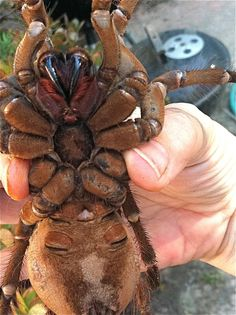 Goliath Bird-Eating Spider (Theraphosa blondi) | Arachnid of the Order: Araneae