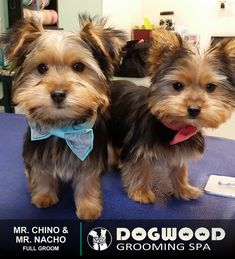 Mr. Chino & Mr. Nacho are both in the house for a Full Groom @ Dogwood Grooming Spa - Knoxville!  Visit our website @ dogwoodgroomingspa.com or Call us at (865) 297-4277 to book an appointment for your pet!  #petcolor #creativegrooming #creativegroomer #petstylist #dogwood #dogwoodgroomingspa #petgroomerknoxville #petgroomer #petgrooming #doggrooming #doggroomer #cityspotz