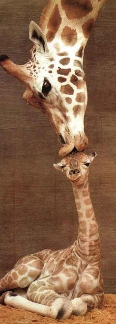Geeky photographer captures mother giraffe kissing her calf at the perfect moment.
