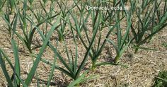 Táto rastlina zabíja 14 druhov rakoviny a 13 typov infekcie. Prečo ju lekári nepredpisujú?