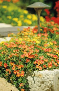 Mojave Portulaca has extra large blooms, and an incredible tolerance for poor soils, heat, drought, you name it!