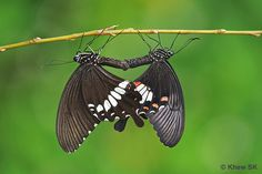 How do butterflies mate. Male butterflies discover females by sight, and utilize chemicals called pheromones at short proximity. In the event that the female acknowledges