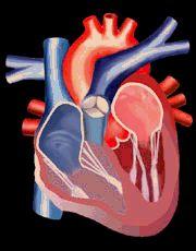 Coração/ Bomba/ Sistema Cardiovascular/ Sistema Circulatório/ Aula Anatomia Humana/ Site Anatomia