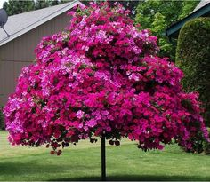Petunia tree ~ Trees of hardware and steel pipe show off Wave petunias and other annuals like ivy-leaf geraniums. Trees And Shrubs, Flowering Trees, Trees To Plant, Dwarf Trees, Garden Trees, Lawn And Garden, Outdoor Plants, Outdoor Gardens, Blooming Trees