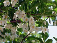 Styrax Japonicus: una nuvola candida e profumata  #Biogiardino #Giardinaggio #giardino