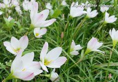 Zephyranthes cubensis o #Brujita, planta que cubre los jardines con sus sencillas flores blancas en verano