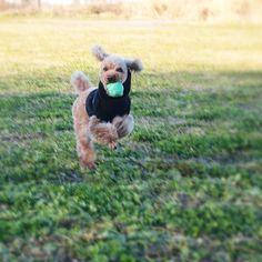 ぴょーん #wooftoday #toypoodle #dog #poodle #doginstagram #ilovemydog #dogstagram #mydogiscutest #dogsofinstagram #cutedog #smalldog #犬 #トイプードル部