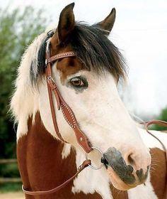 Waldhausen Western Bridle Kansas London Color Quarter Horse