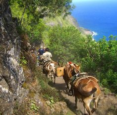 "Barefoothawaii.com/plumeriabreezes Have you done this tour? tell me about it @ https://www.facebook.com/PlumeriaBreezesTravel ""Mule ride down the almost vertical cliff to Kalaupapa on Molokai, Hawaii""    Taking the guided mule ride down the nearly 1,800-foot almost vertical cliff to Kalaupapa on Molokai, Hawaii"