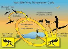 West Nile Virus Transmission Cycle.   More frequent extreme water events, combined with hotter days, is expected to increase the risk of waterborne illnesses such as West Nile.