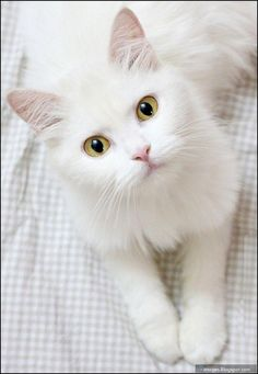 18 Cute Cat Pictures The Most Beautiful Cat Pictures , Pretty Cats, Beautiful Cats, Animals Beautiful, Pretty Kitty, Gorgeous Eyes, Hello Gorgeous, Cute Kittens, Ragdoll Kittens, Tabby Cats