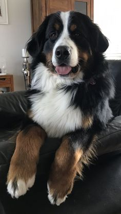 The 109 most popular Bernese mountain dog names - ❤Dogs, Puppies - .-- The 109 Most Popular Bernese Mountain Dog Names – ❤Dogs, Puppies – # Mountain dogs Cute Dogs Breeds, Best Dog Breeds, Best Dogs, Bernese Mountain Dog Names, Swiss Mountain Dogs, Cute Puppies, Dogs And Puppies, Adorable Dogs, Doggies