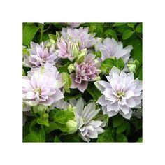 Dancing queen Magnifique variété à fleurs doubles rose clair. Très florifère en mai juin puis aout septembre.