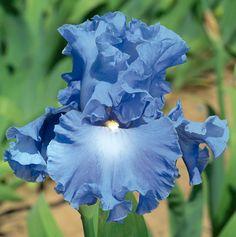 Agua Fresca   Blue Iris