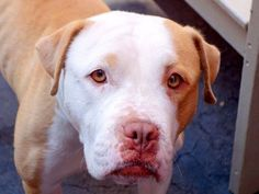 TO BE DESTROYED 9/7/14 Manhattan Center -P My name is PINEAPPLE. My Animal ID # is A1012334. I am a female tan and white am pit bull ter and amer bulldog mix. The shelter thinks I am about 4 YEARS old. I came in the shelter as a STRAY on 08/29/2014 from NY 10034, owner surrender reason stated was STRAY. https://www.facebook.com/Urgentdeathrowdogs/photos/a.611290788883804.1073741851.152876678058553/863056013707279/?type=3&theater