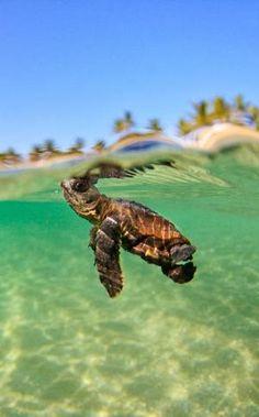 sea turtles swimming - Google Search by MyLittleCornerOfTheWorld