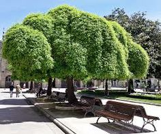 10 Seeds for sale online Sophora Japonica Pendula, Home Garden Plants, Home And Garden, Japanese Pagoda, Zone 7, Seeds For Sale, Unique Trees, Plant Nursery, Beautiful Dream