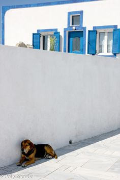 Sleepy dog lies in the shade against a white and blue stucco Santorini house