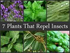 7 Plants That Repel Insects. Some crossover with the earlier 5 plants that repel insects list, but additions as well. Insect Repellent Plants, Mosquito Repelling Plants, Plants That Repel Flies, Poisonous Plants, Plantas Indoor, Keep Bugs Away, Fly Repellant, Citronella, Garden Plants