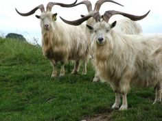 `mountain goats. (For Evalyn)