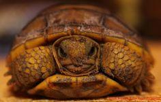 Christopher Tozier - Children's Author: Baby Florida Gopher Tortoise