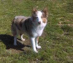 Merlee is an adoptable Shetland Sheepdog Sheltie searching for a forever family near Abingdon, MD. Use Petfinder to find adoptable pets in your area.