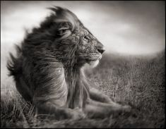 Nick Brandt Photography, LION BEFORE STORM SITTING PROFILE, MASAI MARA 2006