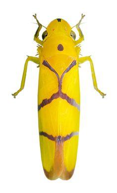 Cicadellidae gen sp.